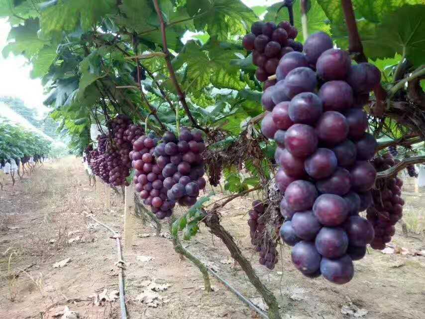 黑白双色地膜价格 怎么挑选质量好的葡萄专用地膜