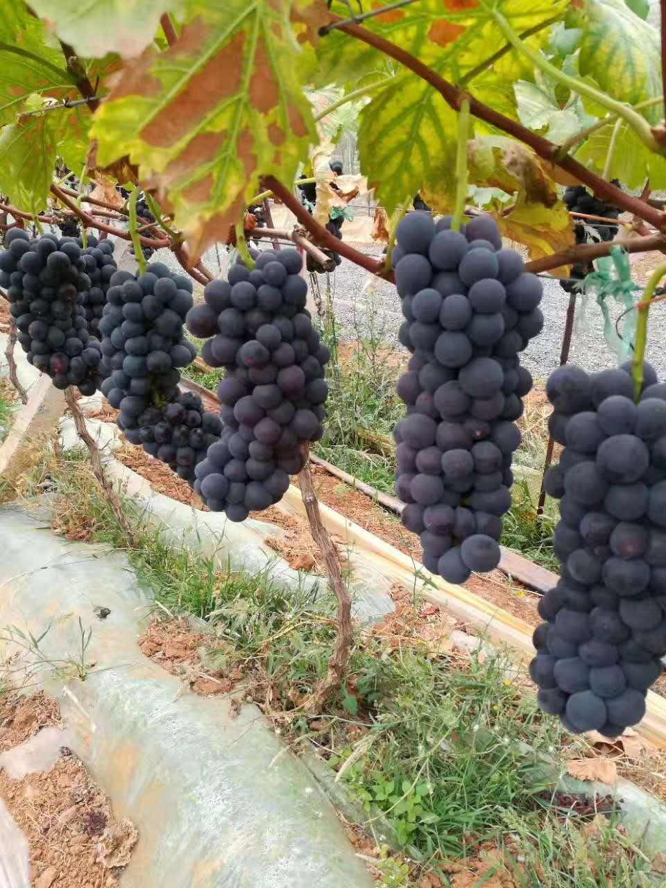 黑白双色地膜-黔南布依族苗族自治州有信誉度的葡萄专用地膜提供商