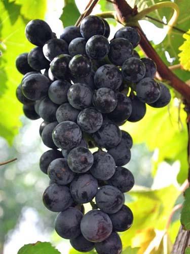 夏黑葡萄苗木基地-销量好的夏黑葡萄苗出售