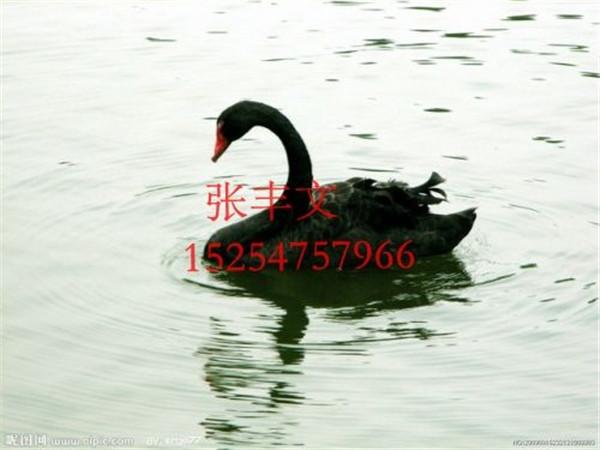 黑天鹅价格范围_张丰文乌骨羊养殖出售划算的黑天鹅