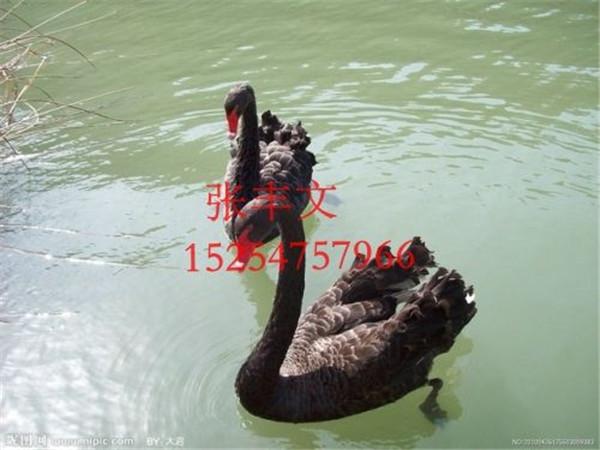 济宁优质的黑天鹅提供商|供销黑天鹅