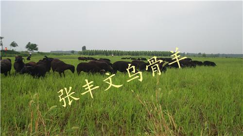 北京乌骨羊——张丰文乌骨羊养殖供应实惠的乌骨羊