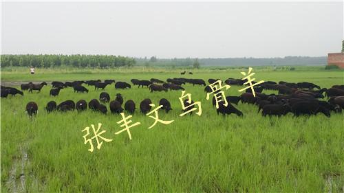 红骨绵羊供货商|山东优质的红骨绵羊生产基地