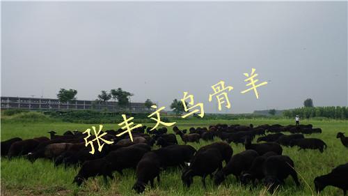 信誉好的原种乌骨羊厂商-促销原种乌骨羊
