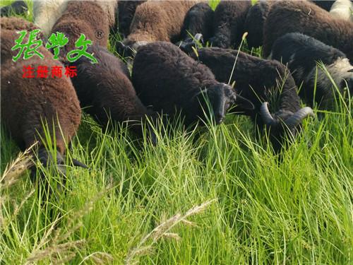 为您推荐合格的原种乌骨羊 ——中国原种乌骨羊