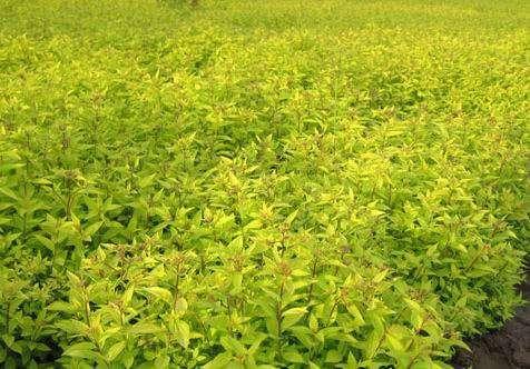 吉林金葉絲棉木,哪里有供應紅枝金葉絲綿木