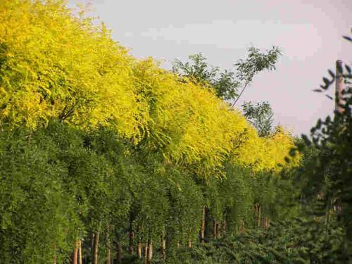 紅枝金葉絲棉木基地-供應遼寧品種好的紅枝金葉絲綿木