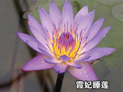 睡莲厂家推荐-供应河北质量好的睡莲