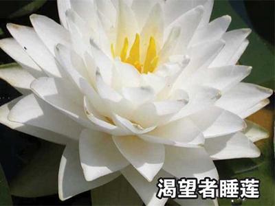 山東睡蓮|優良睡蓮就在蓮麗水生植物