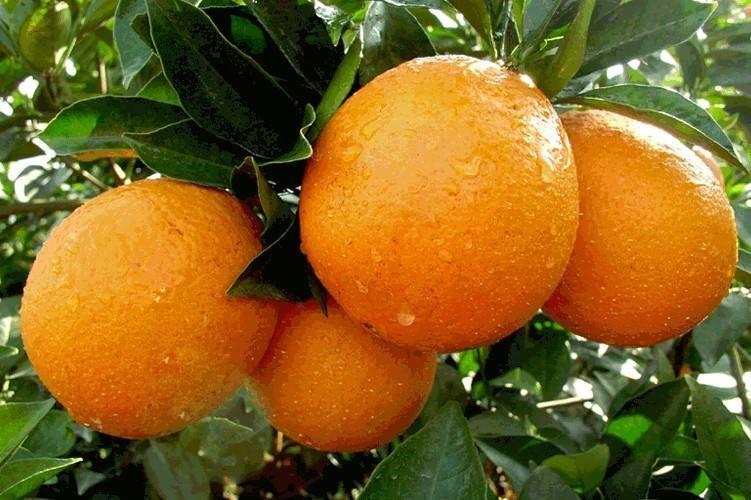 信誉好的赣南脐橙厂家,赣南脐橙的价格