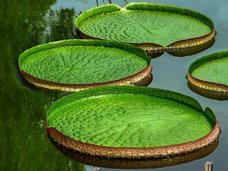 四川王莲-好种植的王莲优选莲丽水生植物