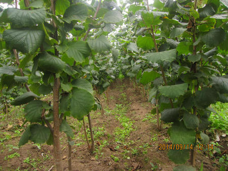 優質平歐榛子苗多少錢-想要選購榛子苗就來本溪忠成家庭農場