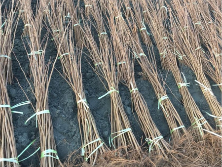 本溪市平欧榛子苗-想要优良的榛子苗就来本溪忠成家庭农场