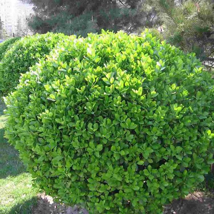 大叶黄杨价格_病虫害低的大叶黄杨出售