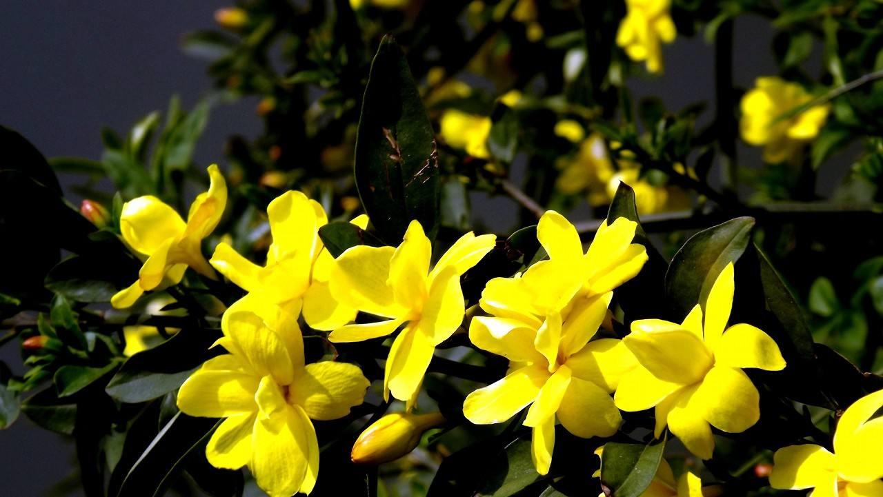 迎春批发-建彬花卉出售实用的迎春