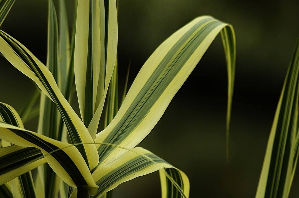 花叶芦竹基地,花叶芦竹种植基地,花叶芦竹多少钱