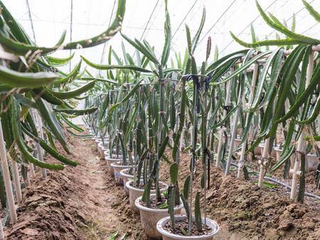 山东火龙果种植基地-优质火龙果绿驰农业专业供应