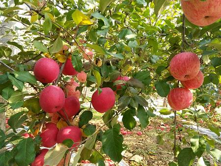 哪里能买到划算的红富士苹果 红富士苹果价格行情图片
