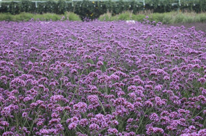 优惠的马鞭草-想要选购马鞭草就来实信花卉苗木