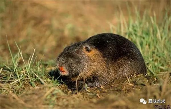海狸鼠公鼠_黔东南苗族侗族自治州价格合理的源味难求海狸鼠供应