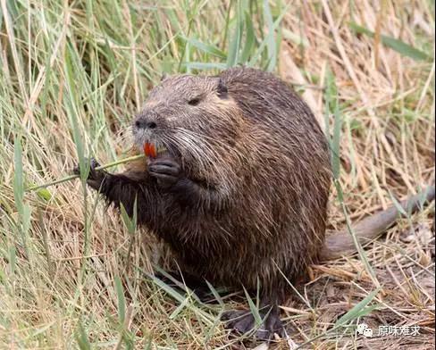 海狸鼠酒-哪里能买到质量好的海狸鼠