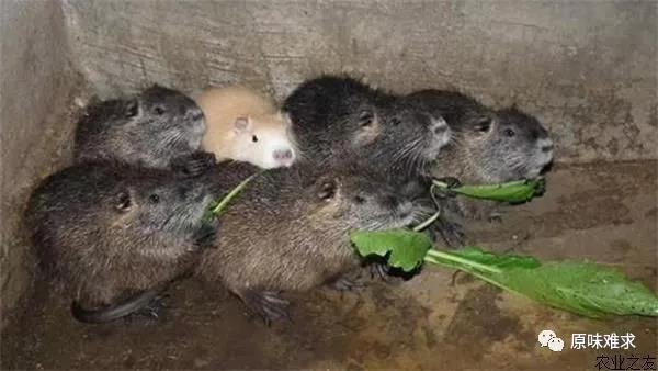 优惠的海狸鼠价位_贵州养殖基地