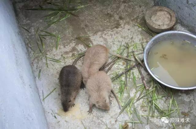 贵州价格实惠的海狸鼠_贵州养殖