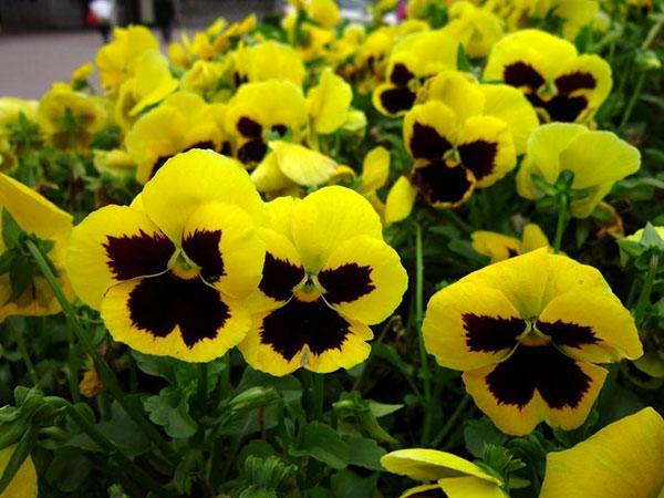 三色堇批发-物超所值的三色堇就在思彤花卉苗木