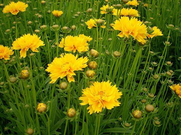 金鸡菊小苗_哪里有提供品质高的金鸡菊