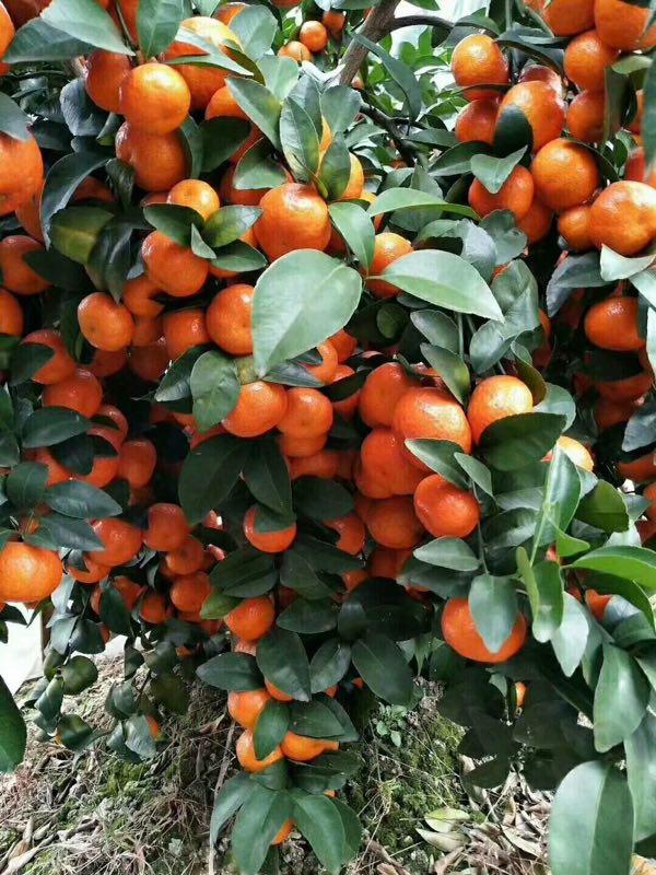 优质砂糖橘长寿专用膜-性价比高的砂糖橘长寿专用膜价格