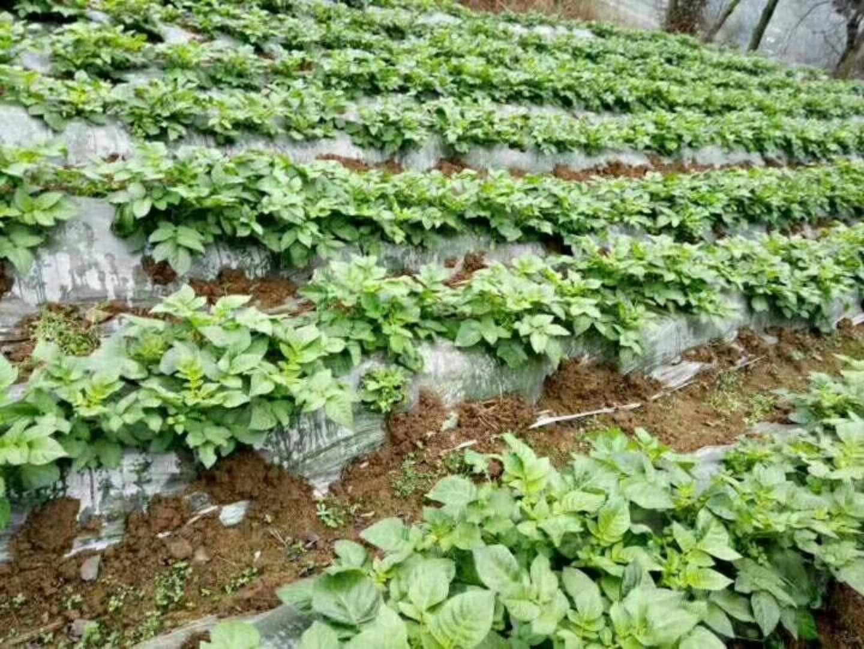 馬鈴薯種植地膜貴州晟和興塑業專業供應-馬鈴薯種植地膜