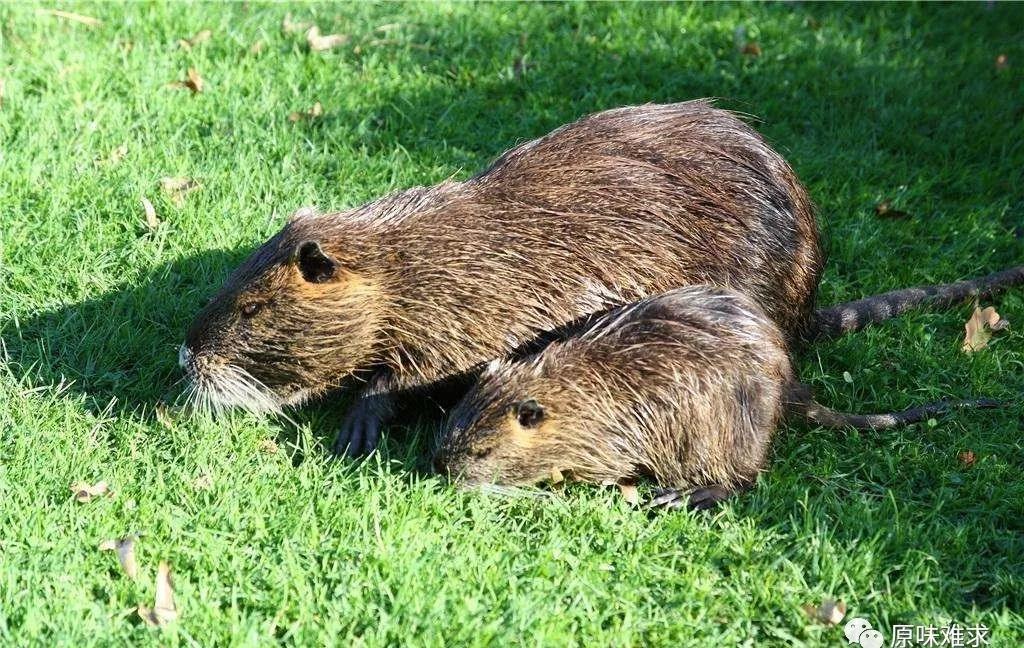 贵州海狸鼠国家扶贫项目-贵州源味难求农业有品质的海狸鼠