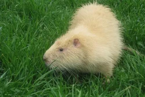 高品质海狸鼠推荐_贵州养殖业政府补贴项目