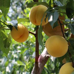 黄金脆桃苗供应-实惠的黄金脆桃苗出售