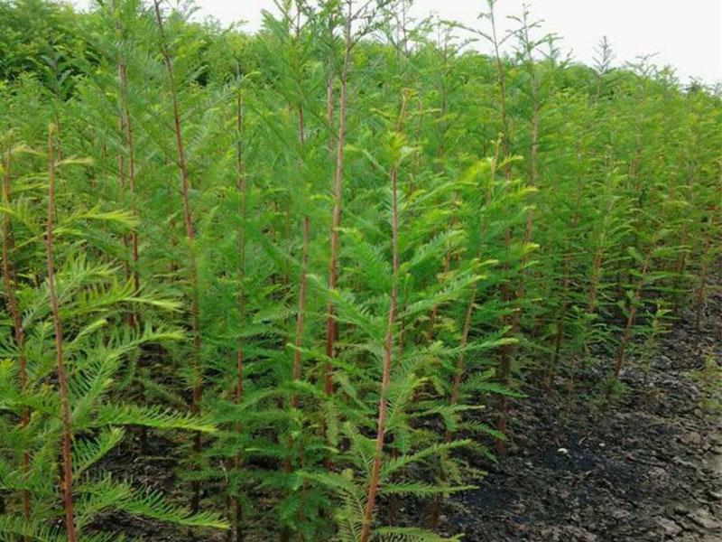 句容落羽杉小苗-想要銷量好的落羽杉就來茅山鎮凌家園苗業種植基地