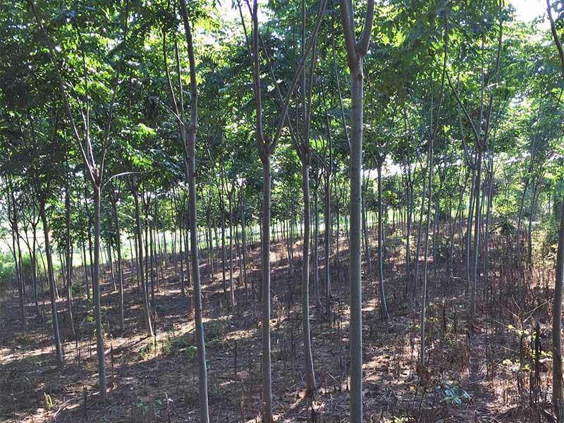 栾树种植基地