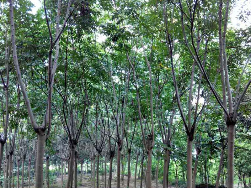 栾树培育基地-成活率高的栾树出售