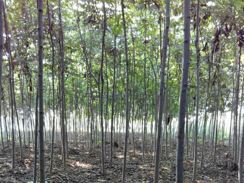 10公分栾树_供应江苏易种植的栾树