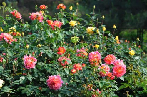 哪里有微型月季-菲洋花卉供应优良的月季