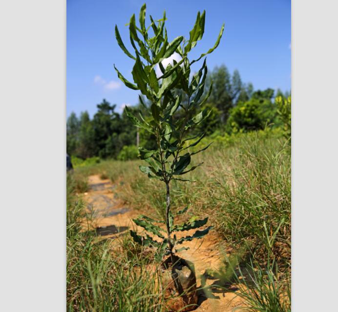 澳洲坚果苗批发_口碑好的夏威夷果嫁接苗优选广西德仁生物科技