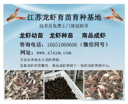 信誉好的宿迁小龙虾苗种厂商 海安龙虾种苗