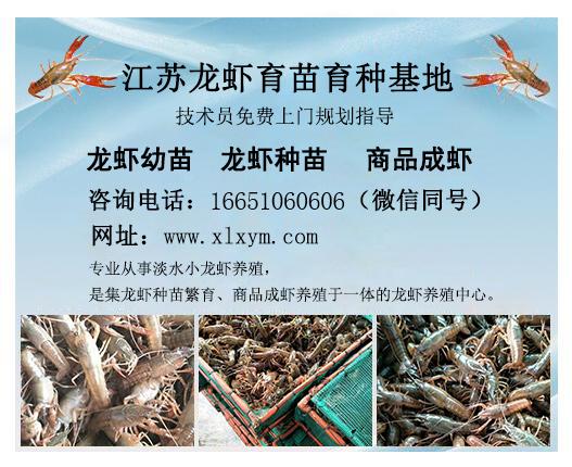 供应宿迁销量好的龙虾——龙虾幼苗