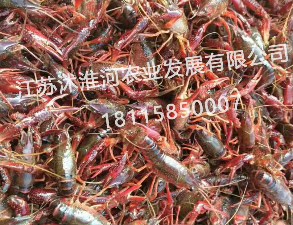 宿迁小龙虾养殖场|宿迁有哪几家有信誉度的龙虾苗养殖基地