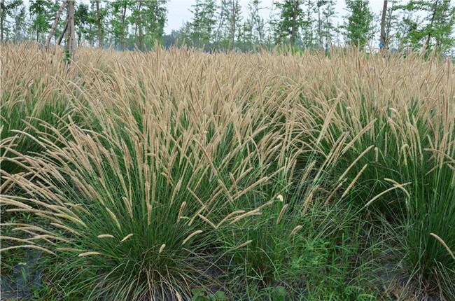 性价比高的狼尾草就在九州园艺-大布尼狼尾草
