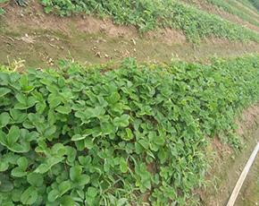 草莓苗零售-草莓苗多少錢一株