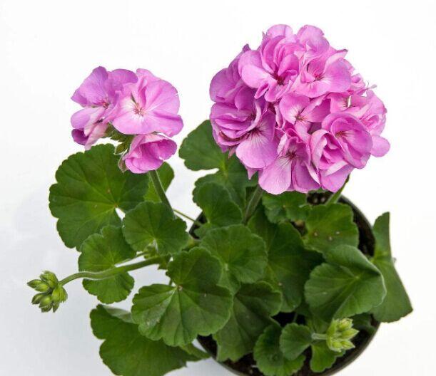 春意盎然!天竺葵批发价格、天竺葵种植基地、天竺葵哪家好