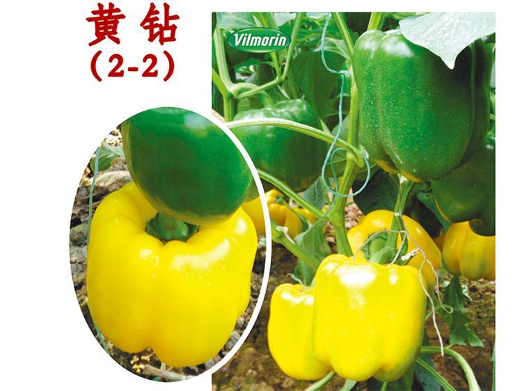 五彩椒種子廠家|山東五彩椒種子批發價格