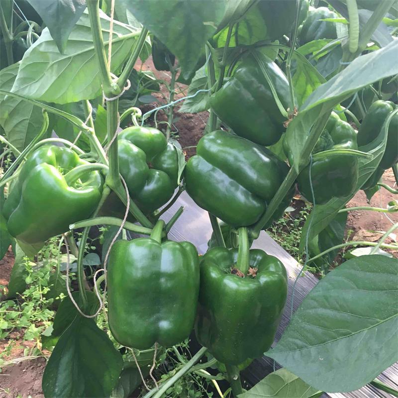 黑龙椒太空椒种子 买绿方椒种子选哪家好