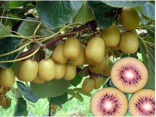 【金色田园】大量供应——猕猴桃,好吃的猕猴桃,黄心猕猴桃