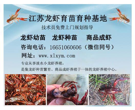 千耀农产品经营部专业供应龙虾苗种 狮子山区龙虾苗
